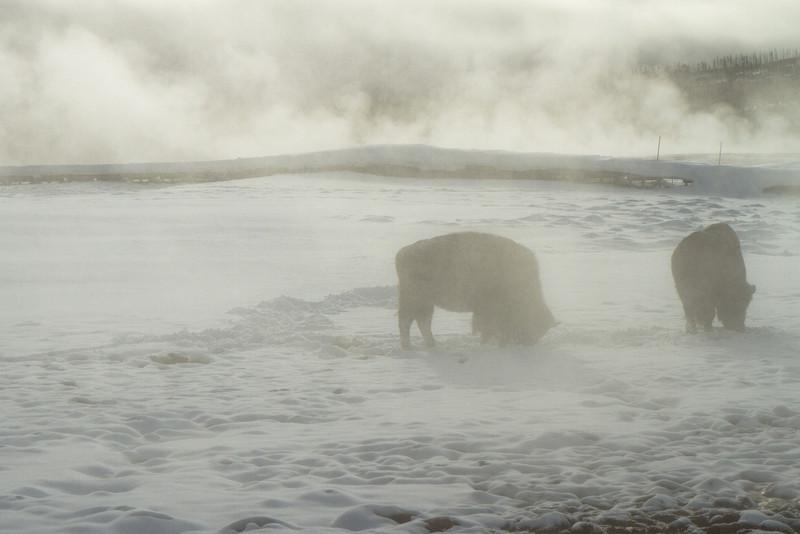Bison grazing in upper geyser basin
