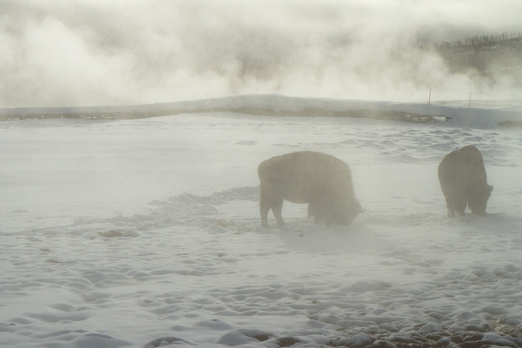 Bison grazing in upper geyser basin