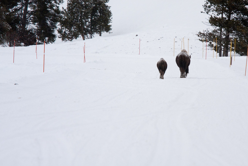 Mom and calf bison on the road