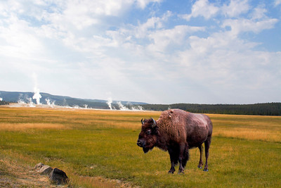 Geysers and Lone Bison