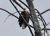 Great Bald Eagle