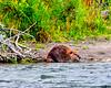 beaver eating grass BMF_1996