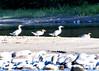 snake river ducksBMF_1840