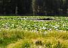 lilly pad pondBMF_1695