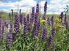 YNP wildflowers 5