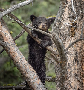 Brown Bear Cub climbing again after falling 20 ft from this tree! Yellowstone