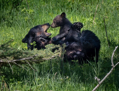 Yellowstone Black Bear Mom and Cub