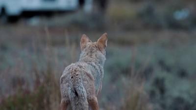 Coyote barking before dawn
