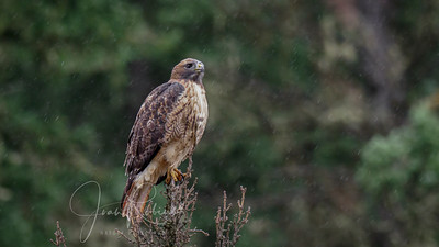 Redtail in the rain