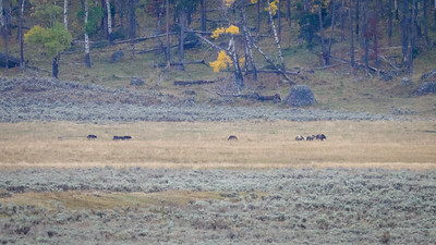 Wolves escorting Grizzly and two cubs out of their territory