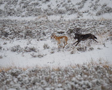 Wolf Chasing Pronghorn in Yellowstone