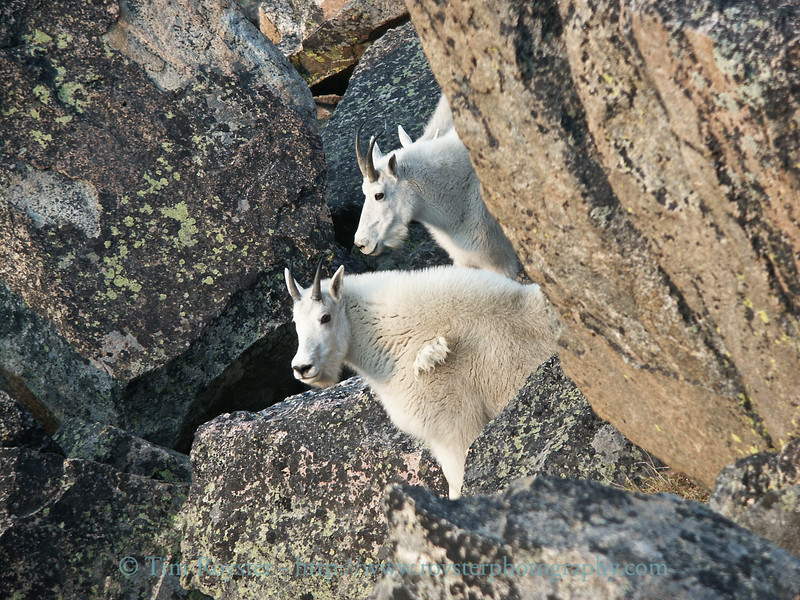 Mountain goats in the Beartooth Mountains.