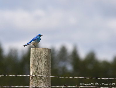 Mountain Bluebird - Custer State Park, South Dakota.