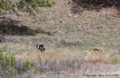 While in Custer State Park, we noticed something far off up one of the hills moving around.  Unable to see it with the naked eye, we pulled out the binoculars and found it was a wild turkey strutting around.  This was the best shot I could get with my poor-man's 300mm lens.
