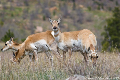 Pronghorn Antelope - Custer State Park, South Dakota.