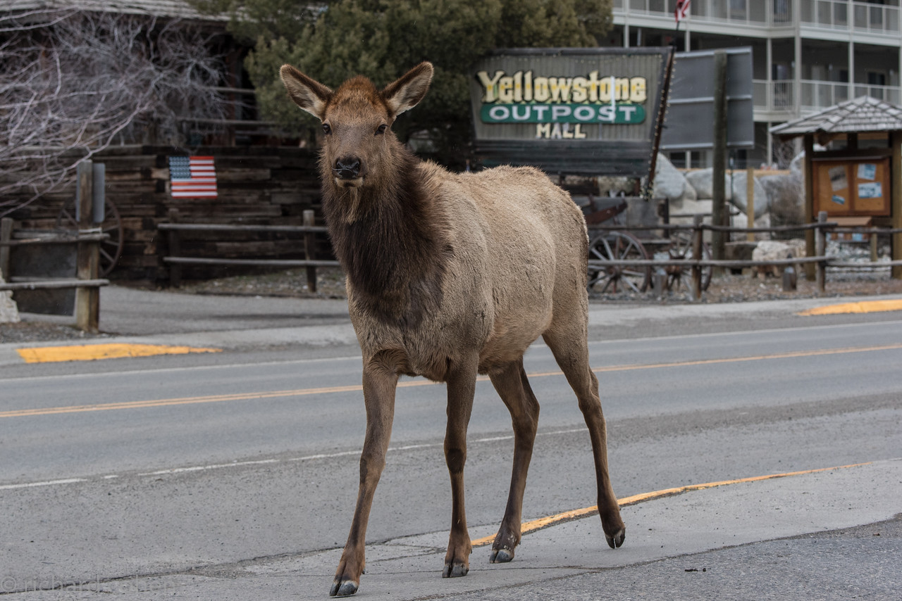 Welcome to Gardiner, MT...literally strolling down the main street in front of our hotel.