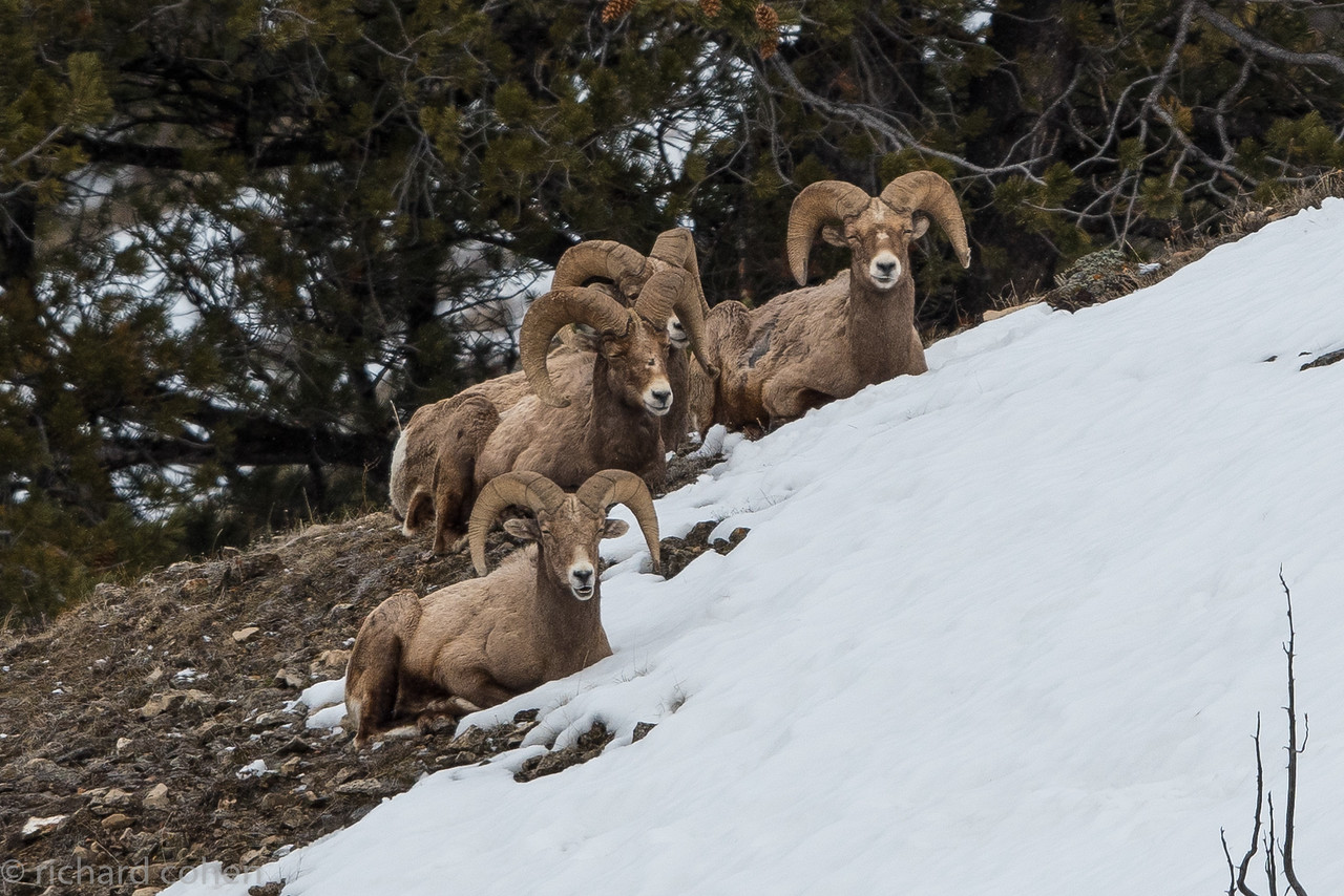 We saw lots of bighorn sheep.