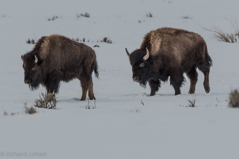 Tons of bison everywhere in and near the park.