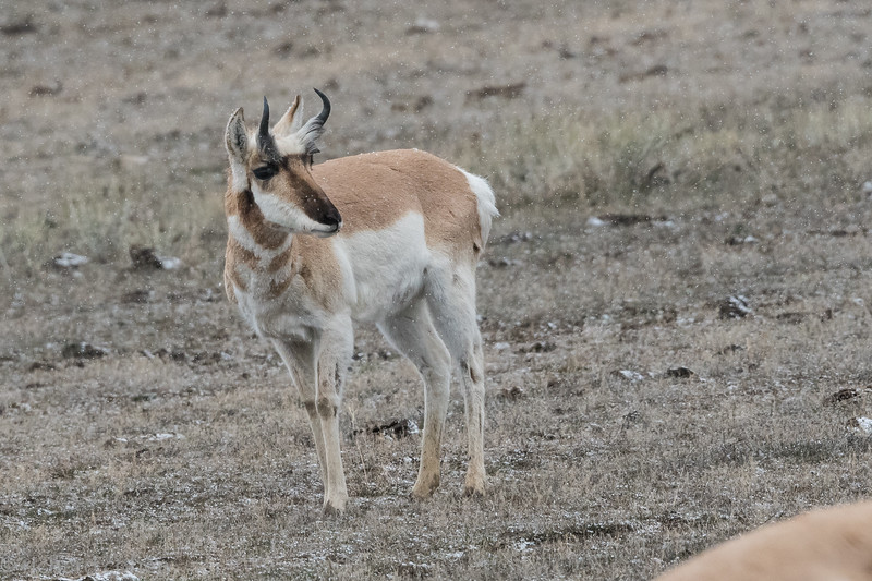 Pronghorn sheep, just outside the park.