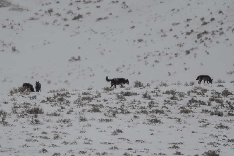 First of a bunch of wolf shots. We spent three days looking for these guys. Was lucky to see parts of three different YS wolfpacks. Both black (shown here) and grey wolves. All shots taken at very long disance. If you ever see a close up of a wolf, the wolf has made a mistake.
