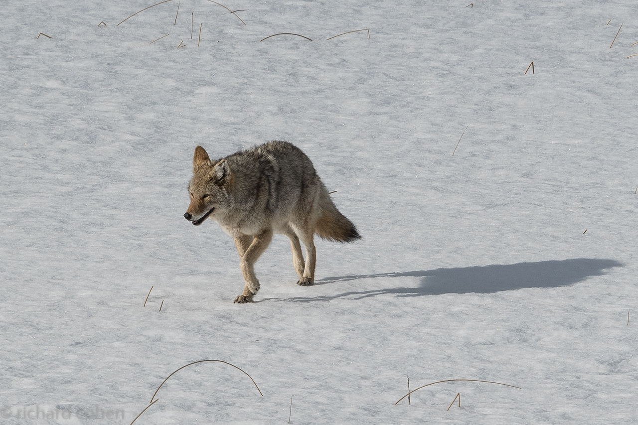 Coyote approaching a partially submerged bison carcass.