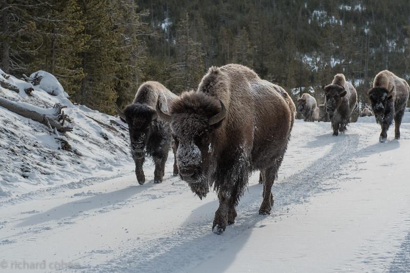 Traditional winter Yellowstone traffic jam.