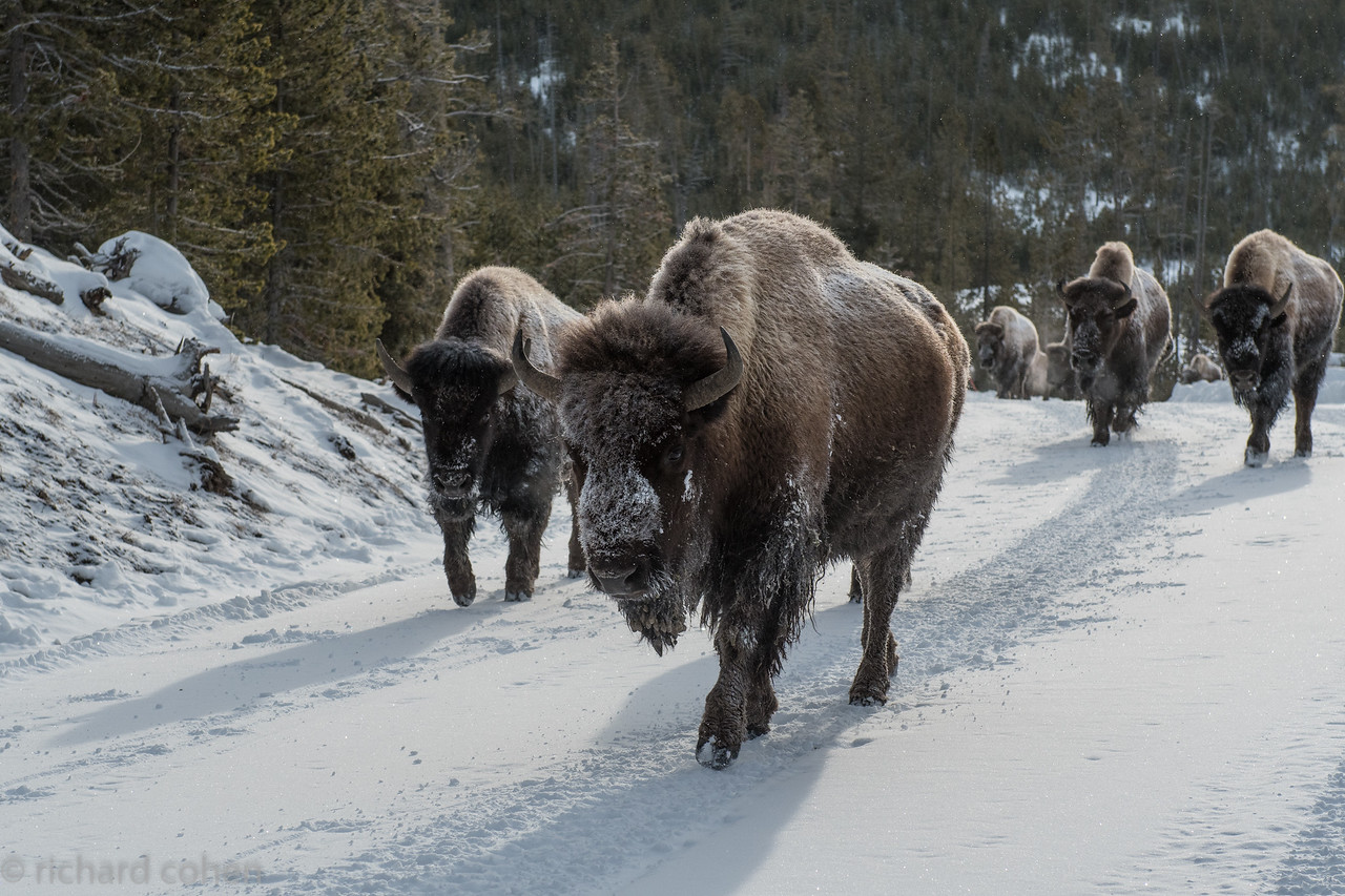 Traditional winter Yellowstone traffic jam.
