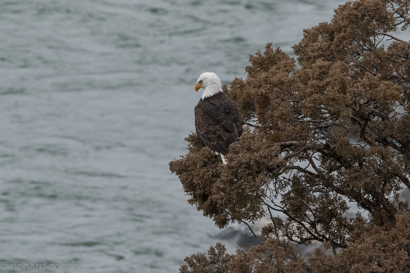 Ok, switching gears. This shot was taken from our hotel room window! We saw lots of bald eagles during the week. The rivers are chock full of trout so the eagles hunt up and down the rivers. This one strafed some river otters before heading down river.