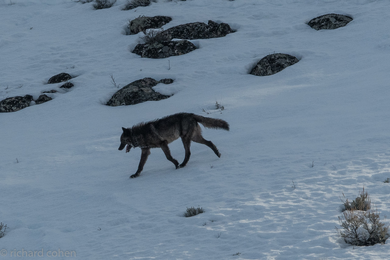 Note the collar around his neck. They collar all of the 'alpha' males and females in the park. Since they are pack leaders if the researchers know where the alphas are they know where the pack is, or will be.