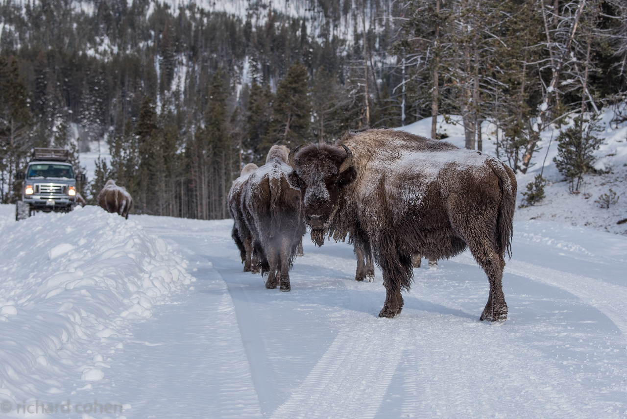 Tons of snow, tons of bison.