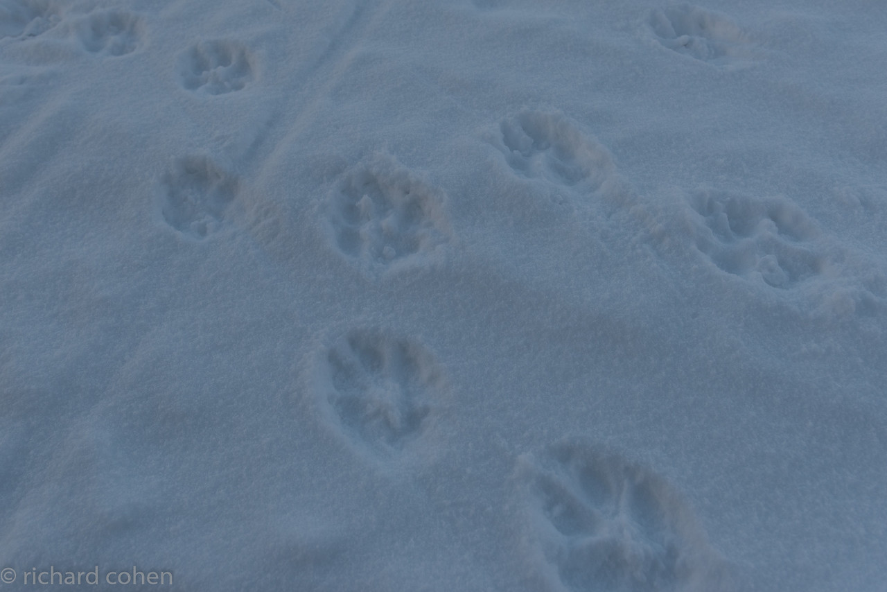Very large wolf prints. We heard but did not see these wolves. Bummer.