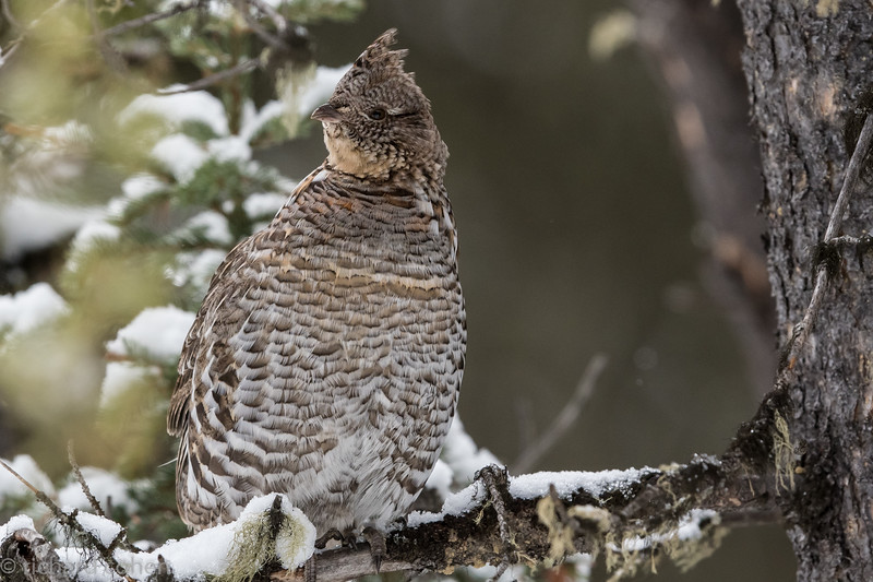 A grouse all puffed up in a tree by the side of the road.