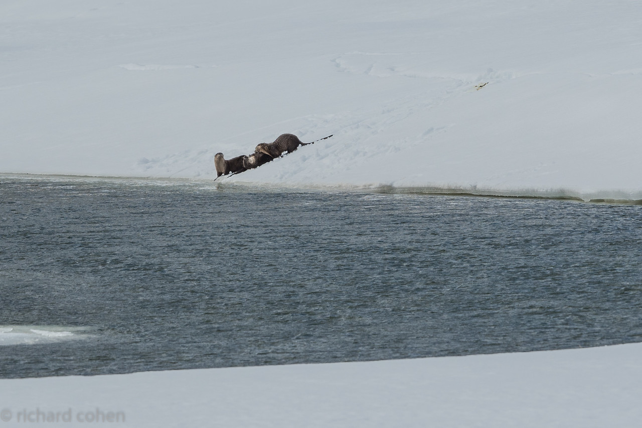 Long range shot of three river otters playing on the snow. They had a great time sliding down the hill into the water.