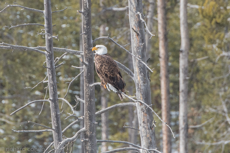 Bald eagle, taken along one of the many rivers in the park.