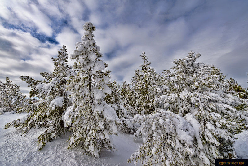 Frosted trees juxtaposed against a puffy cottonball, blue sky in Midway Geyser Basin