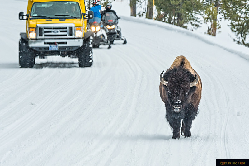 A Common Scene in Yellowstone