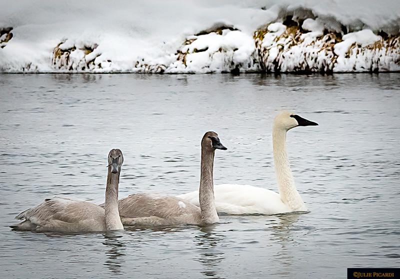 Three Swans a Swimming