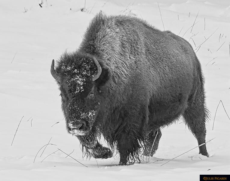 Portrait of a Bison Monochrome