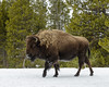 Another group of 3 bison comes down the trail, moving us off again into deep snow.  This one looked Dollie in the eye, snorted, and then moved on.