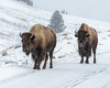 More Bison on the road