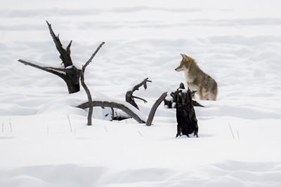 Patient Coyote