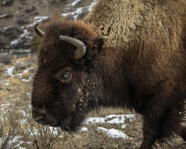 Bison greeted us at the North Entrance to the Park.
