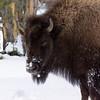 Grouchy Bison