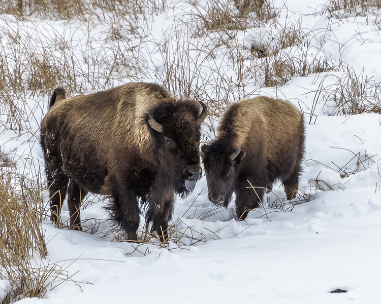 Mother bison and her last year's calf.