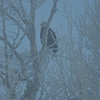 Bald Eagle in the mist