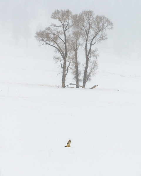 A coyote listening for voles and mice under the snow.