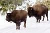 Mother & Adolescent Bison