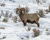 Another Big Horn Sheep