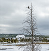 A Bald Eagle with the Old Faithful Inn in the background.