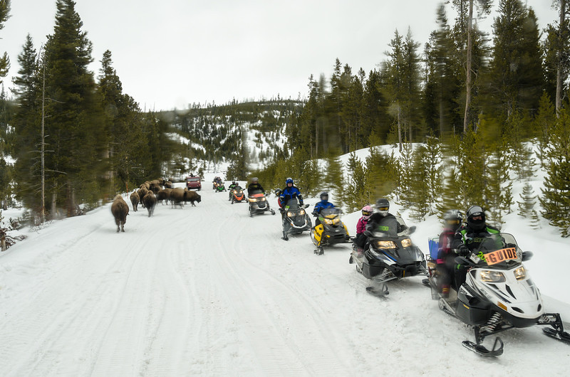 Snowmobiles passing a bison jam (photographed through a wet rear window of the snow coach)